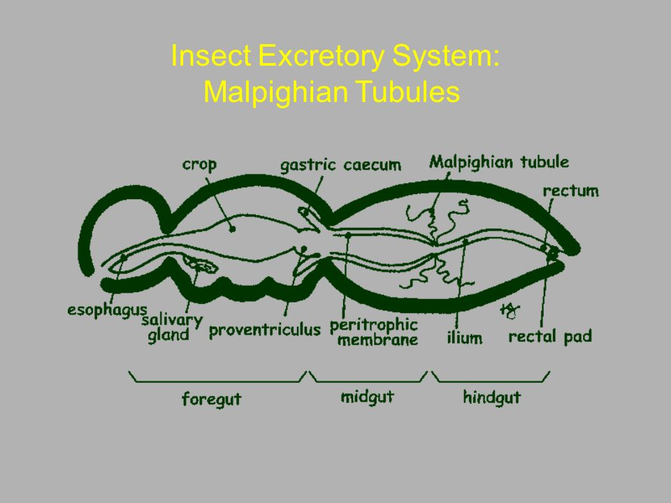 Entomology 462 Insect Morphology - ppt video online download