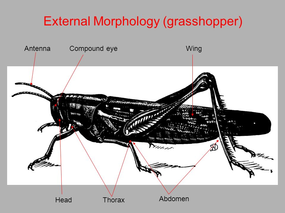 external morphology of grasshopper Insect development iv external morphology of grasshopper embryos of known age and with a known temperature history.