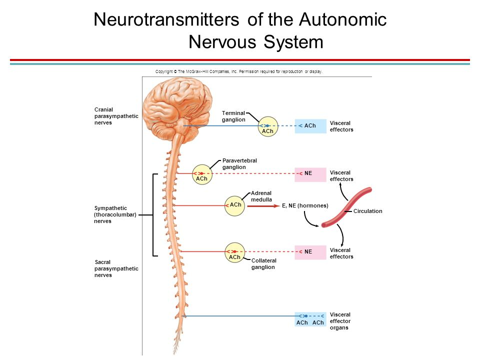 neurotransmitters the nervous system The nervous system is composed of two divisions, the central nervous system (cns) and peripheral nervous system (pns) the cns contains the brain and the spinal cord.