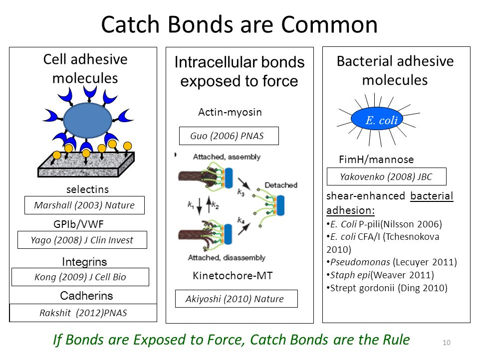 Catch Bonds are Common Cell adhesive molecules