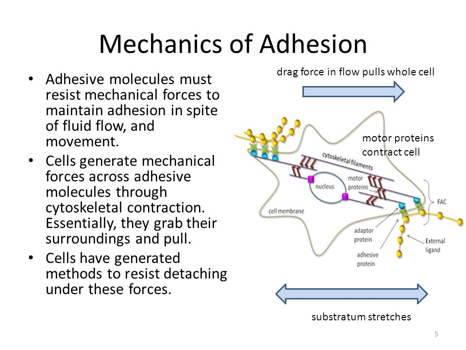 Mechanics of Adhesion drag force in flow pulls whole cell.