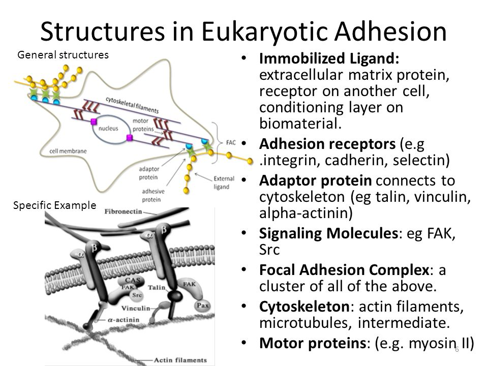 Structures in Eukaryotic Adhesion