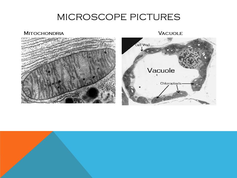Vacuoles in animal cells microscope