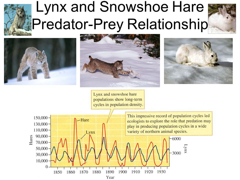 snowshoe hare and lynx relationship tips