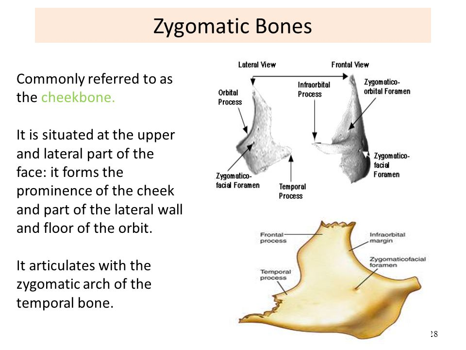 Zygomatic Bone Anatomy Images Free Download Zygomatic Bone Anatomy
