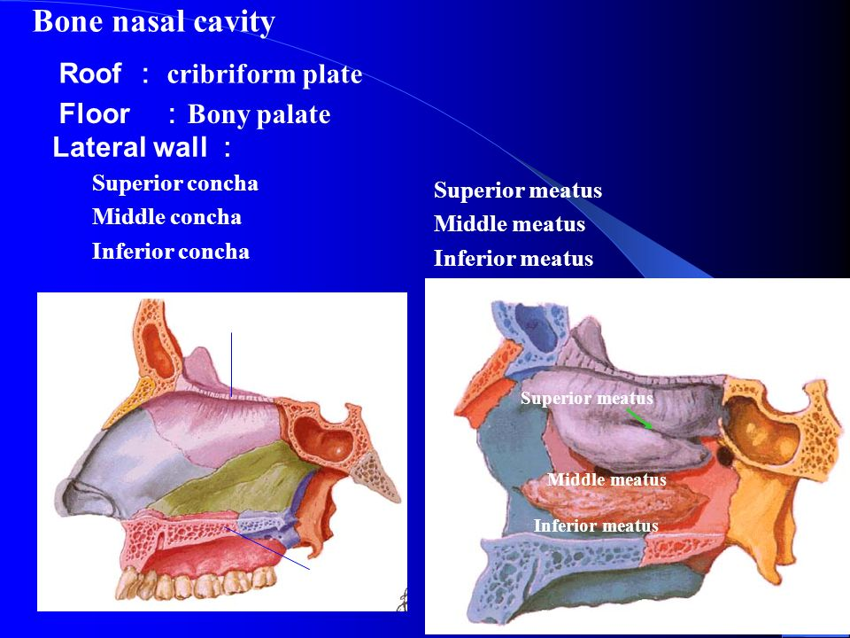 The skull shandong university liu zhiyu ppt video online for Floor of nasal cavity