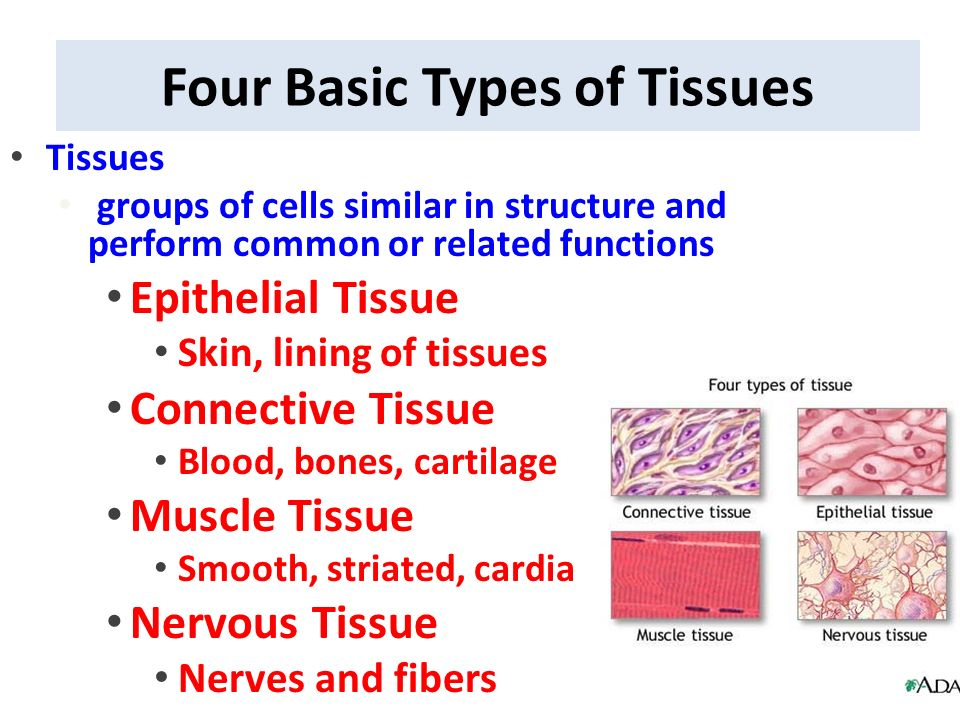 four basic tissue types and their A tissue is a group of cells that have a similar shape and function different types of tissues can be found in different organs in humans, there are four basic types of tissue: epithelial.