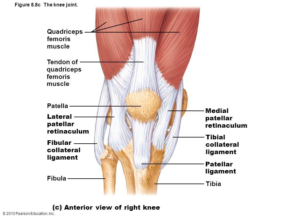 Atemberaubend Knee Bilder Der Anatomie Ideen - Anatomie Ideen ...