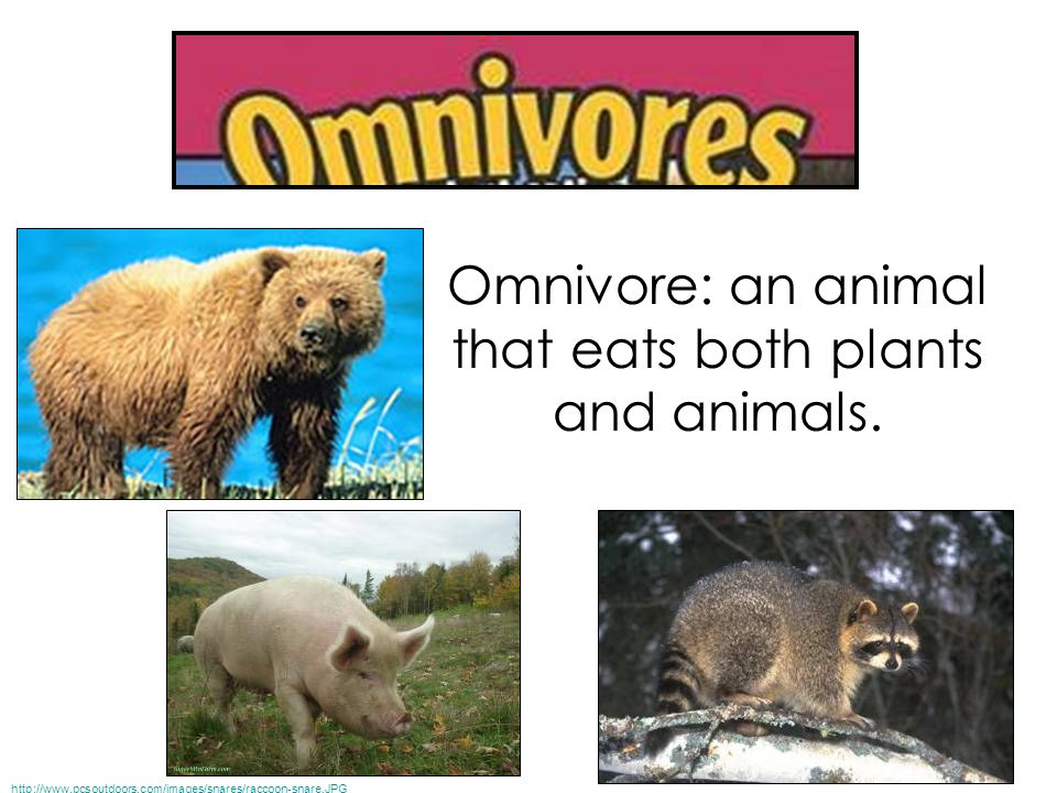 Omnivore: an animal that eats both plants and animals.