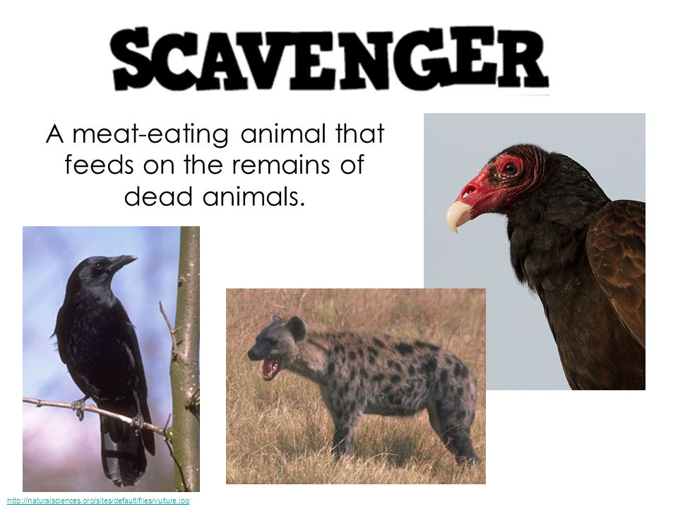 A meat-eating animal that feeds on the remains of dead animals.