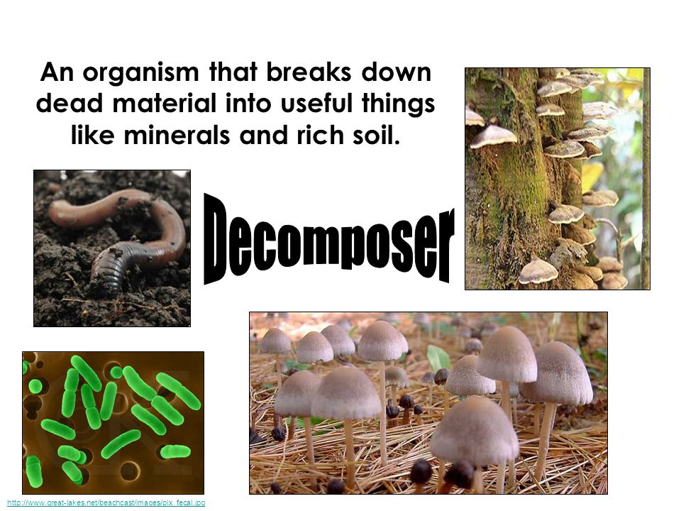 An organism that breaks down dead material into useful things like minerals and rich soil.