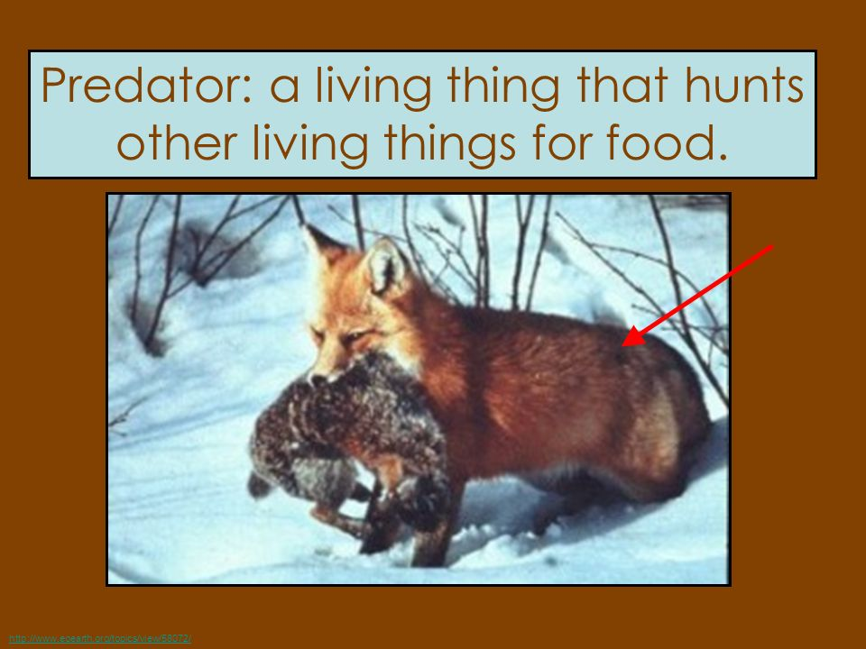 Predator: a living thing that hunts other living things for food.
