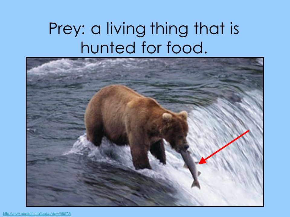 Prey: a living thing that is hunted for food.