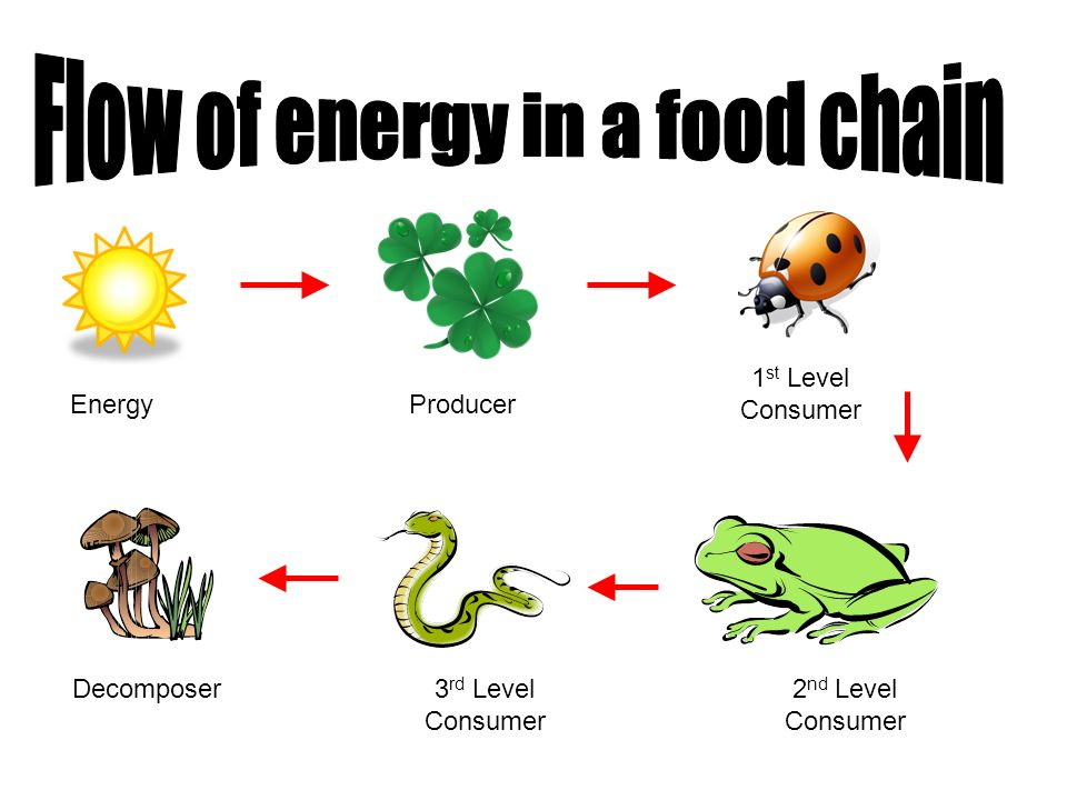 Flow of energy in a food chain