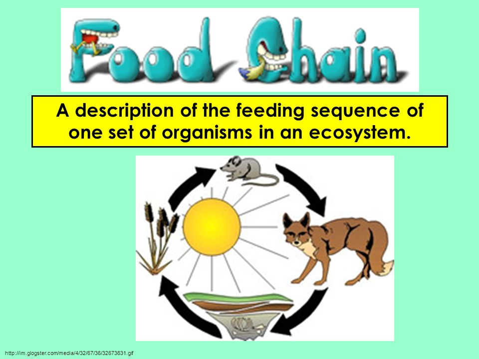 A description of the feeding sequence of one set of organisms in an ecosystem.
