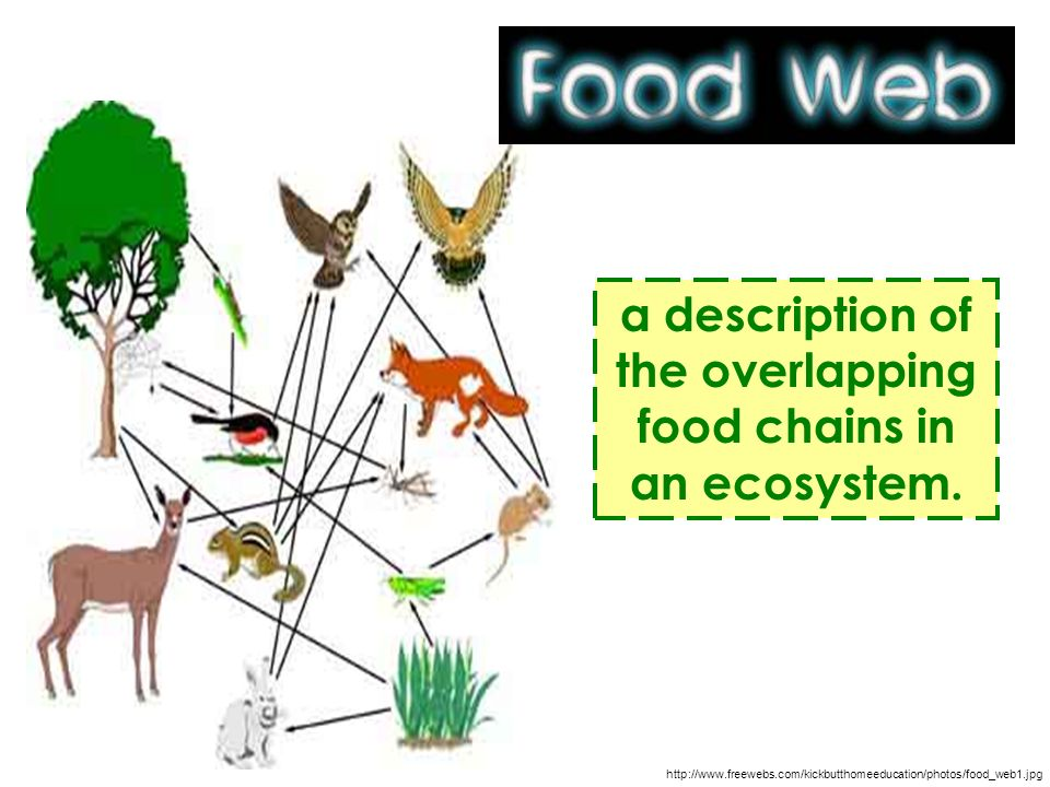 a description of the overlapping food chains in an ecosystem.