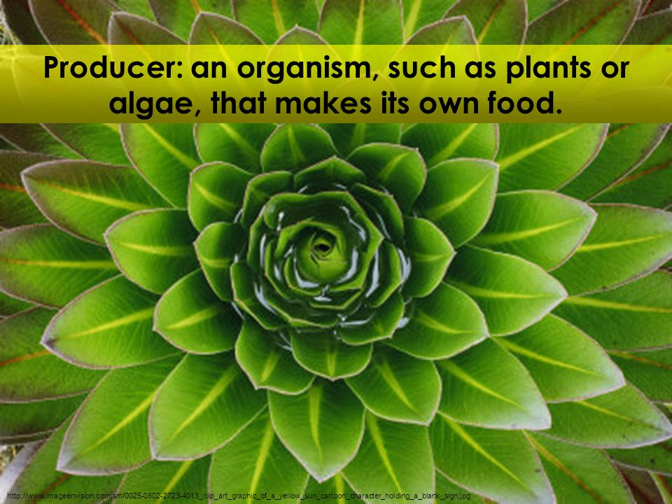 Producer: an organism, such as plants or algae, that makes its own food.