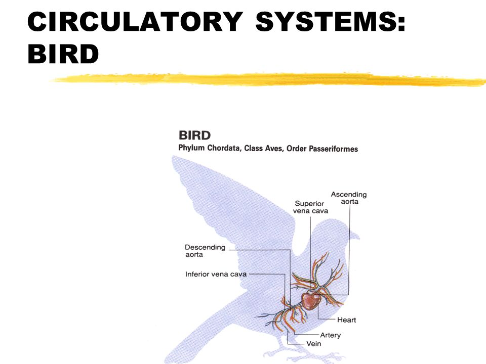 comparing vertebrate body systems ppt video online download