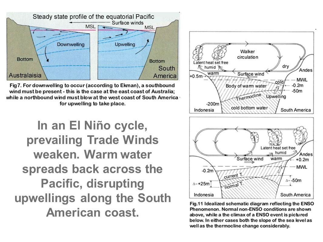worksheet El Nino Worksheet climate and ecosystems ppt video online download in an el cycle prevailing trade winds weaken