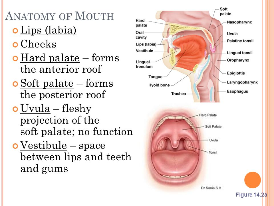 Anatomy of Teeth in Mouth Images