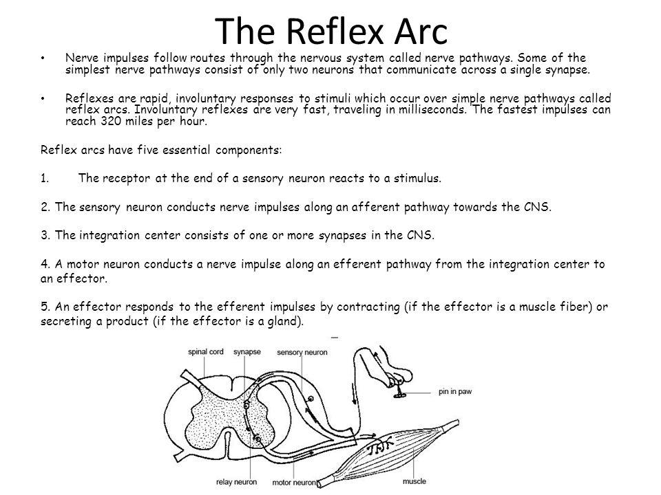 The Reflex Arc Nerve Impulses Follow Routes Through The Nervous
