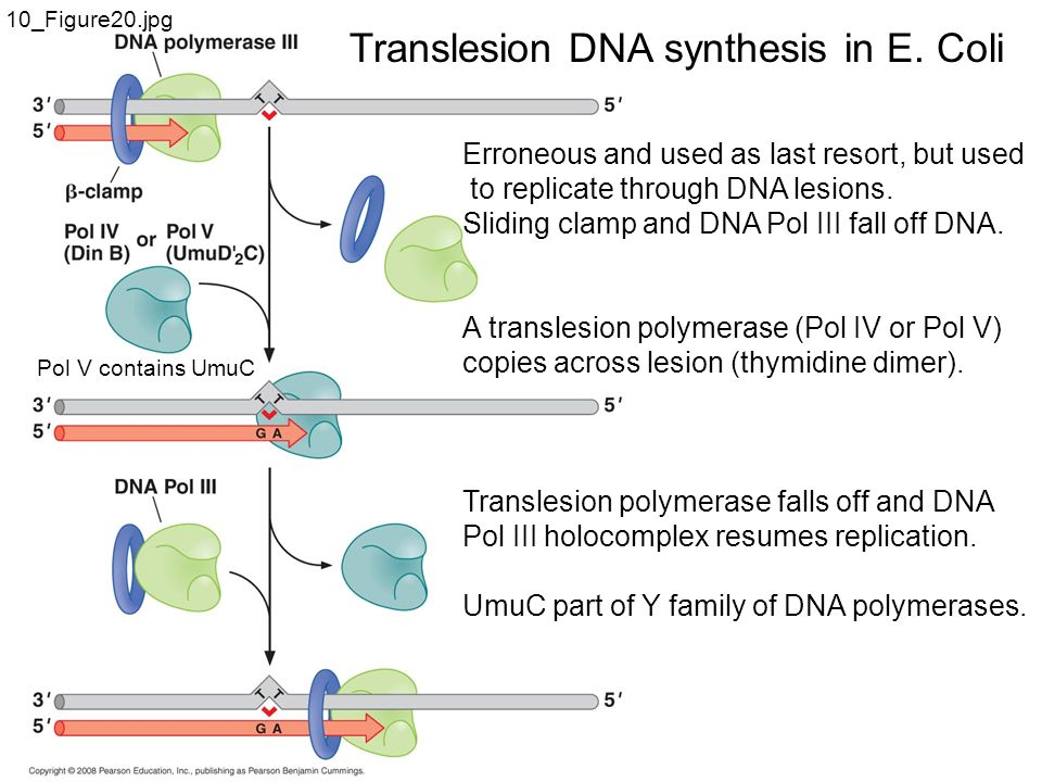 translesion systhesis Translesion synthesis by yeast dna polymerases - translesion synthesis (tls), the process by which dna polymerases replicate through dna lesions, is the source of most dna damage-induced mutations.
