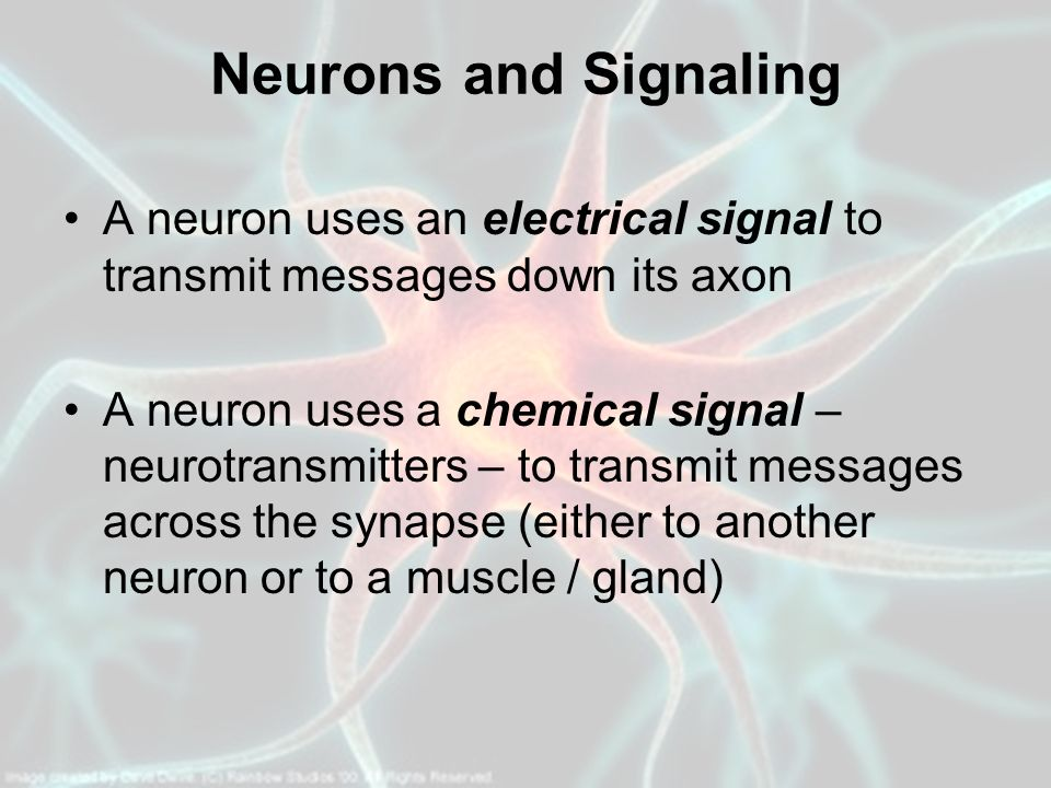 Neurons and Signaling A neuron uses an electrical signal to transmit messages down its axon.