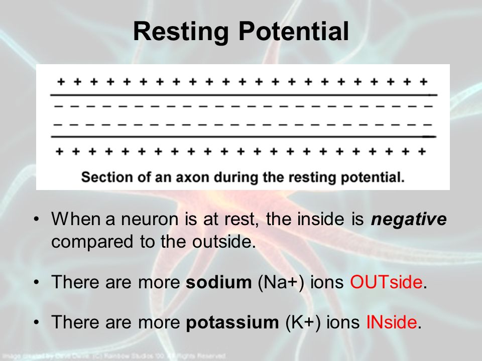 Resting Potential When a neuron is at rest, the inside is negative compared to the outside. There are more sodium (Na+) ions OUTside.