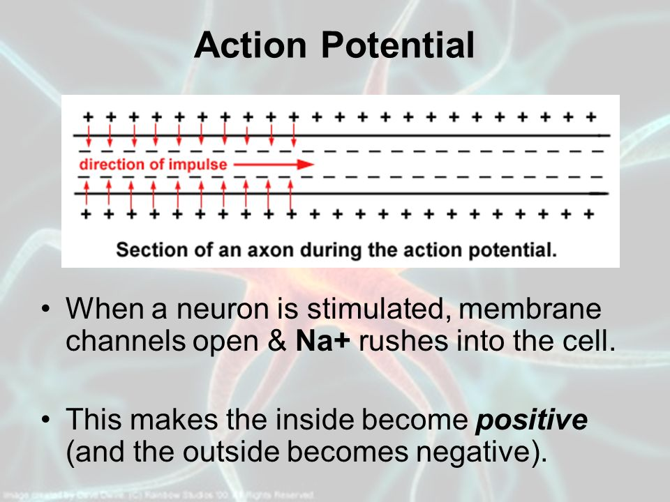 Action Potential When a neuron is stimulated, membrane channels open & Na+ rushes into the cell.