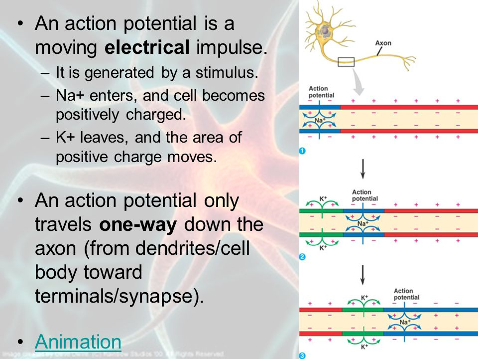 An action potential is a moving electrical impulse.
