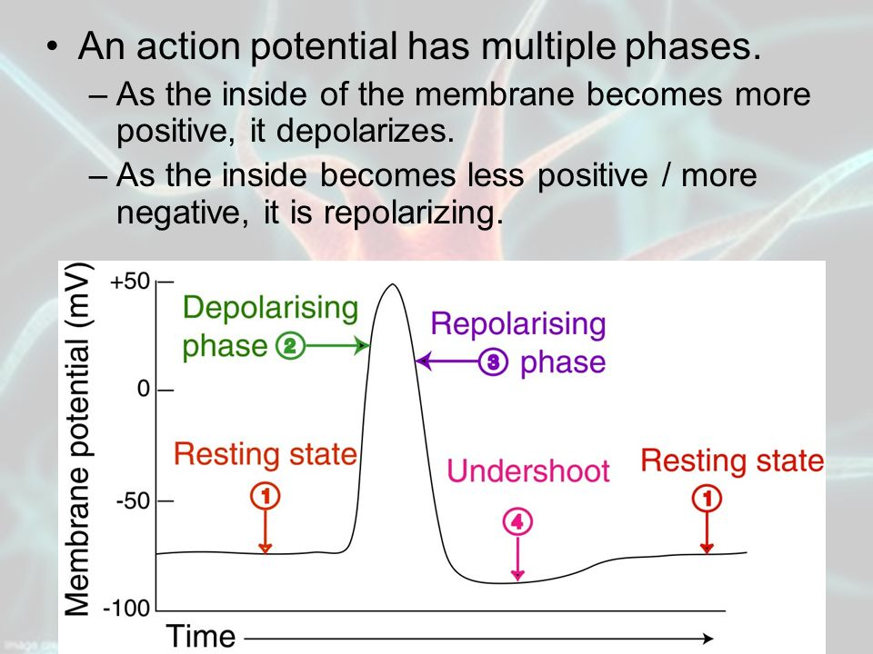 An action potential has multiple phases.