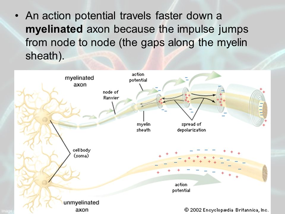 An action potential travels faster down a myelinated axon because the impulse jumps from node to node (the gaps along the myelin sheath).