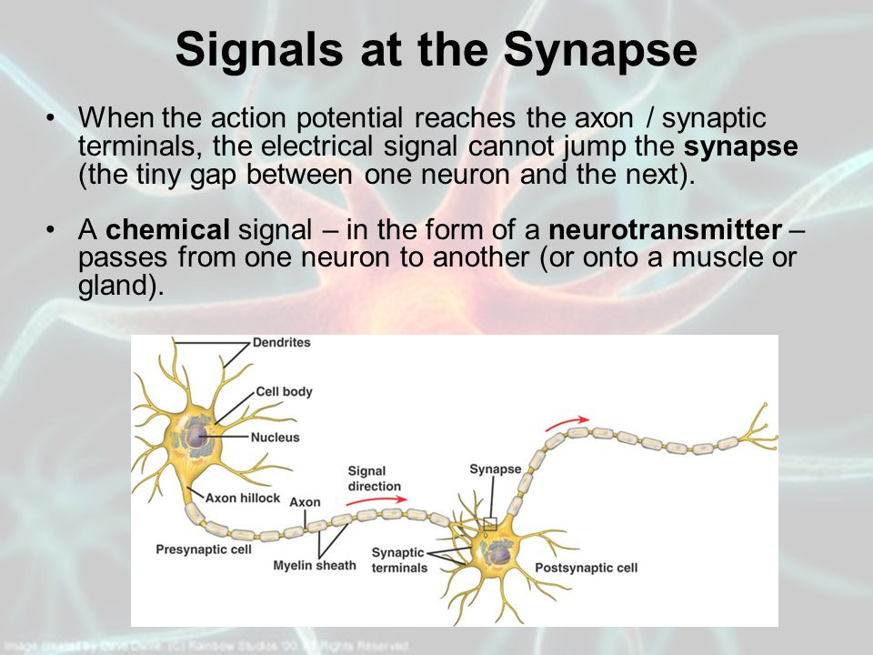 Signals at the Synapse