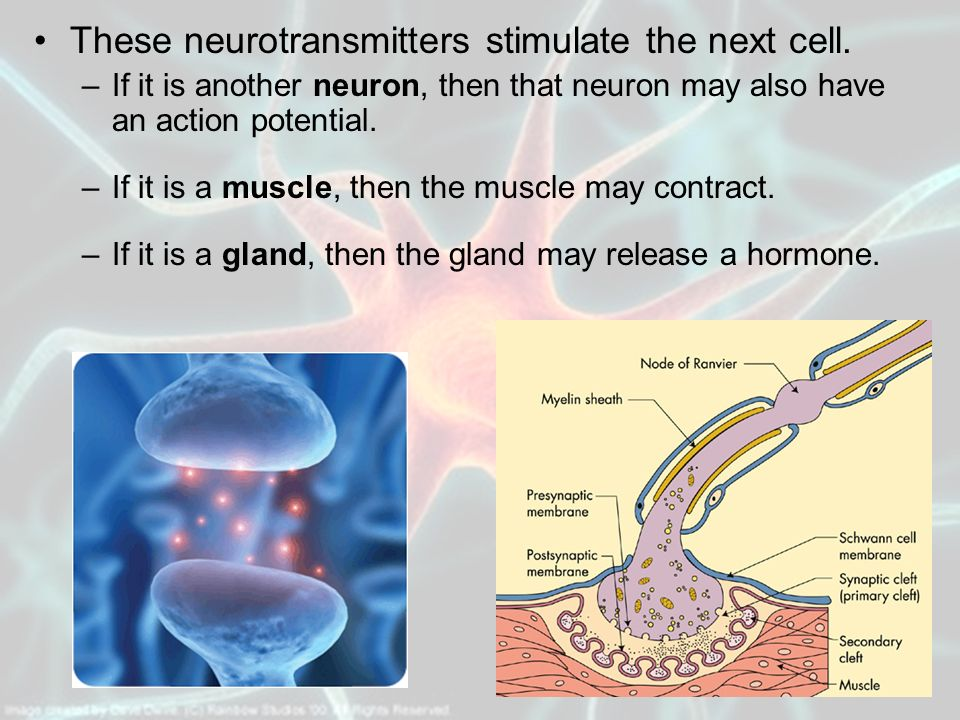 These neurotransmitters stimulate the next cell.