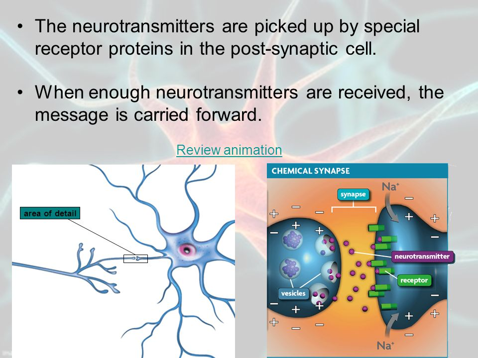The neurotransmitters are picked up by special receptor proteins in the post-synaptic cell.