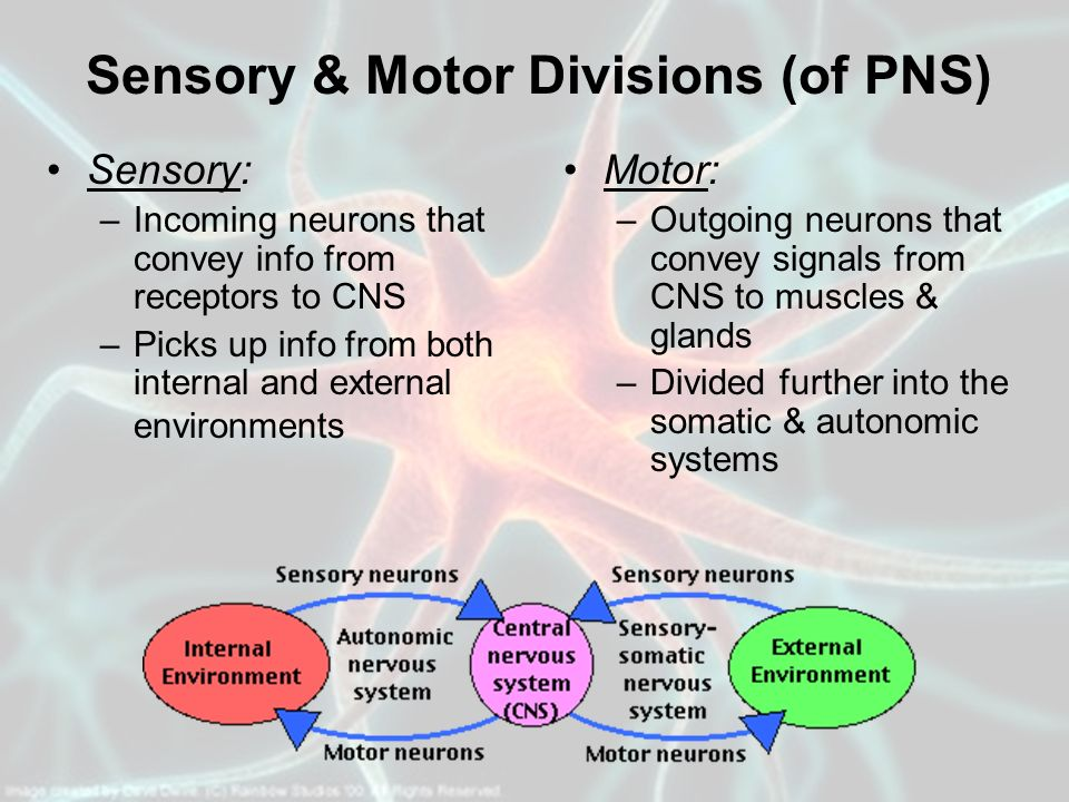 Sensory & Motor Divisions (of PNS)