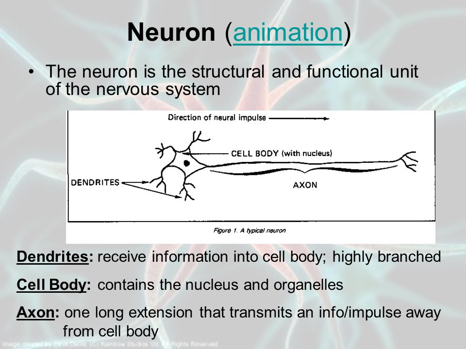 Neuron (animation) The neuron is the structural and functional unit of the nervous system.