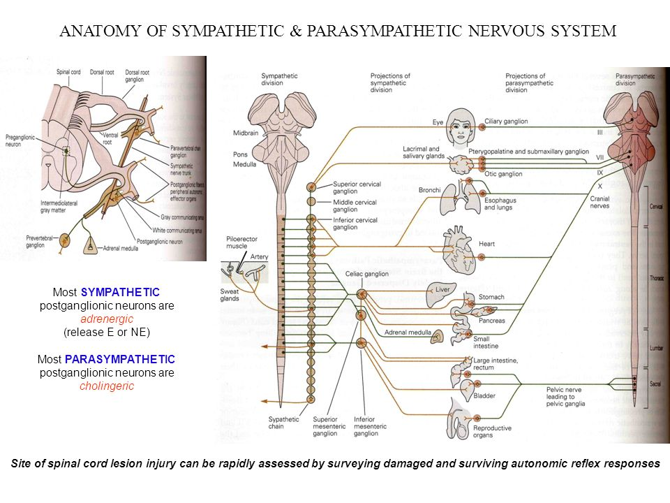 parasympathetic nervous system and topic Get information, facts, and pictures about autonomic nervous system at encyclopediacom make research projects and school reports about autonomic nervous system easy with credible articles.