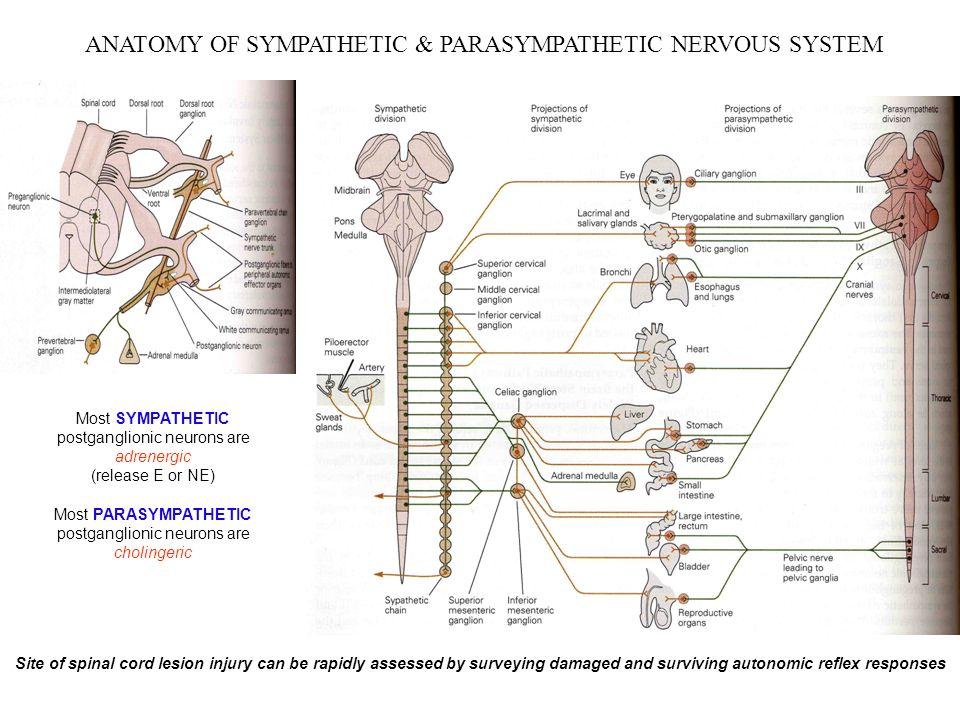 Attractive Anatomy Of Autonomic Nervous System Mold Human Anatomy