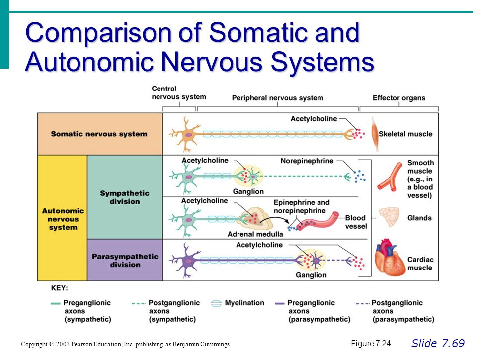a comparison of the parasympathetic and sympathetic divisions of the autonomic nervous system Compare sympathetic4 2 (physiology) anatomy physiol of or relating to the  division of the autonomic nervous system that acts in opposition to the  sympathetic.