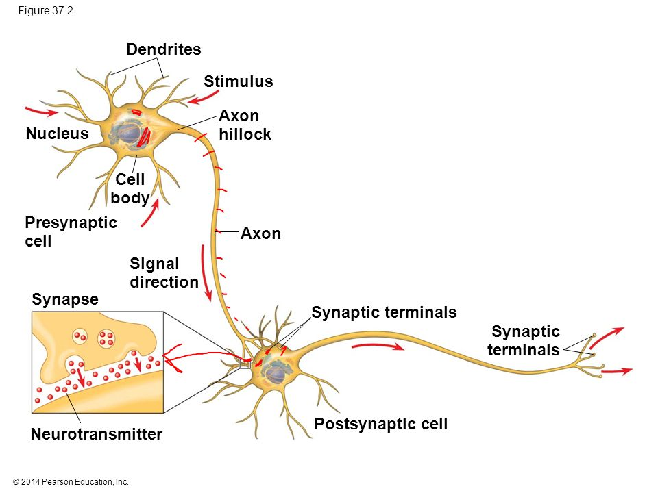 Neurons synapses and signaling ppt video online download neuron structure and function 7 dendrites ccuart Image collections