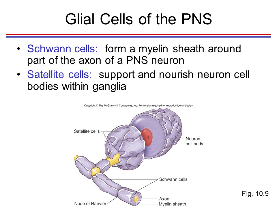 Functional Organization of Nervous Tissue - ppt video online download