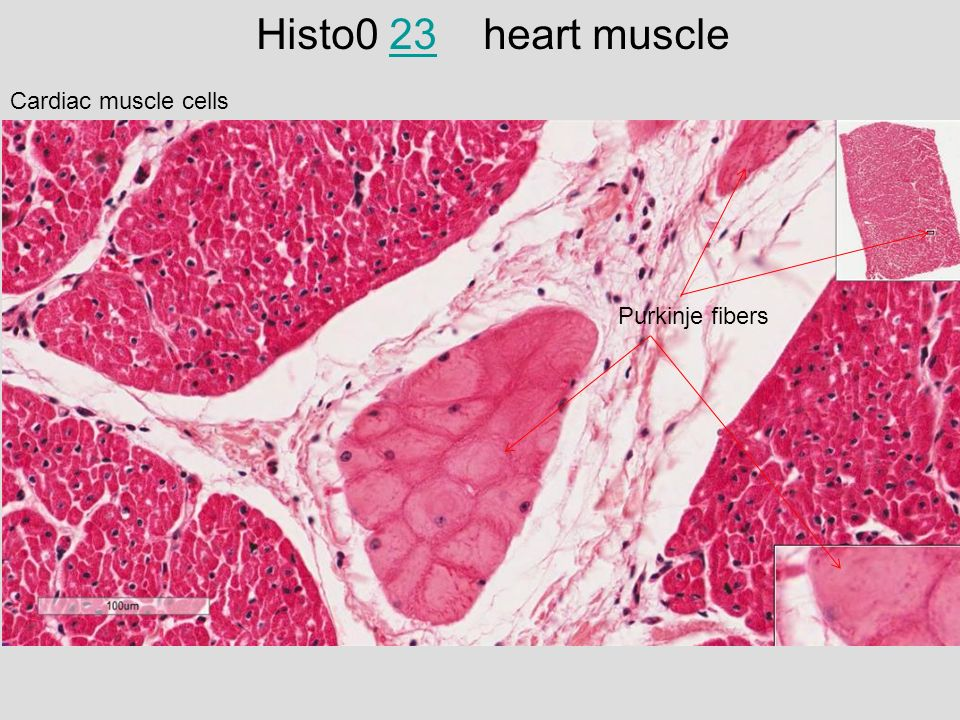 medical school histology basics muscle ppt video online