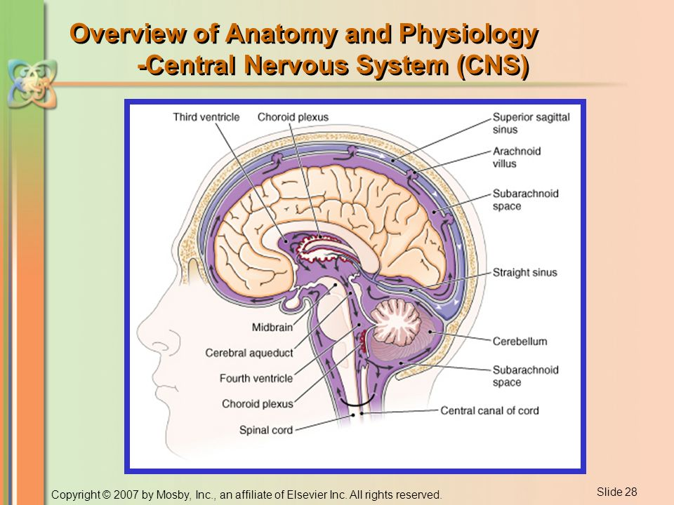 Bonito Normal Anatomy And Physiology Of The Brain Motivo - Imágenes ...