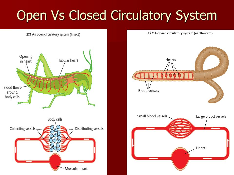 Open vs closed circulatory system ppt video online download ccuart Gallery