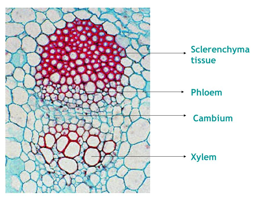 xylem tissue in plants transports minerals and