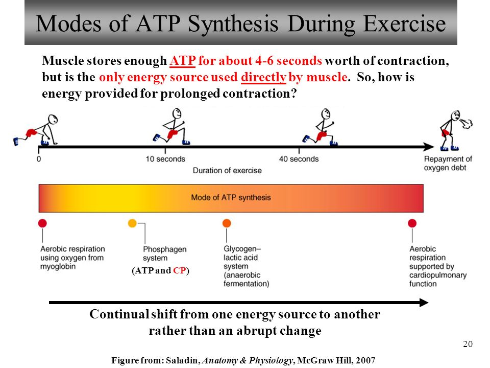 Contemporary Atp Anatomy And Physiology Pictures - Anatomy And ...