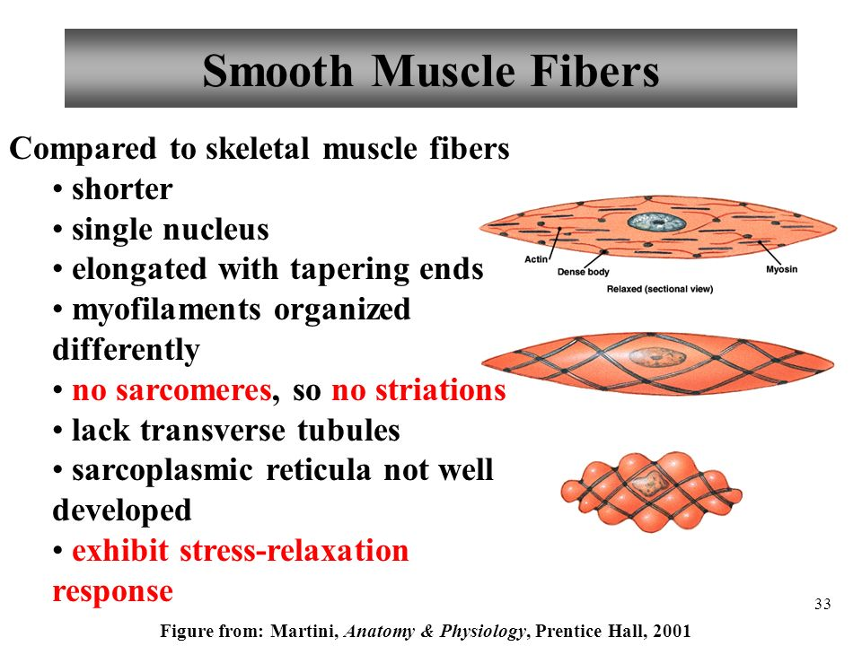 Muscle model with sarcomeres anatomy physiology t