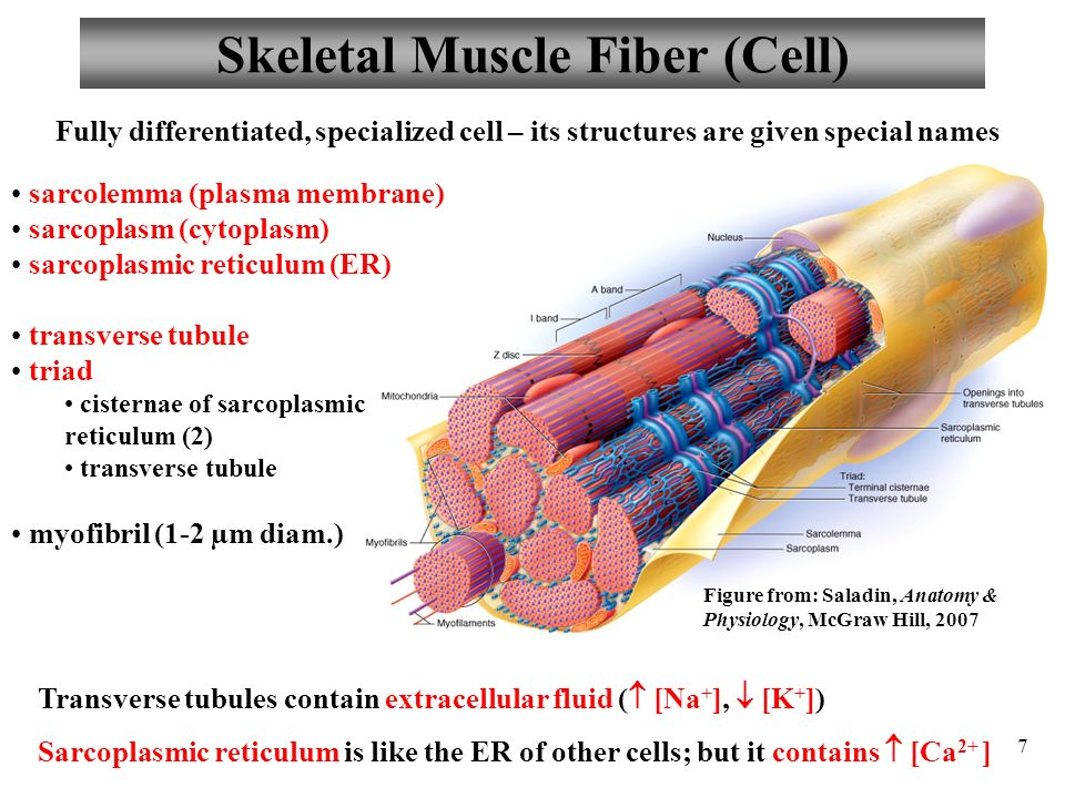 muscle skeletal muscle Did you know that skeletal muscle does more than just move our body parts this lesson describes how skeletal muscles are used for movement.