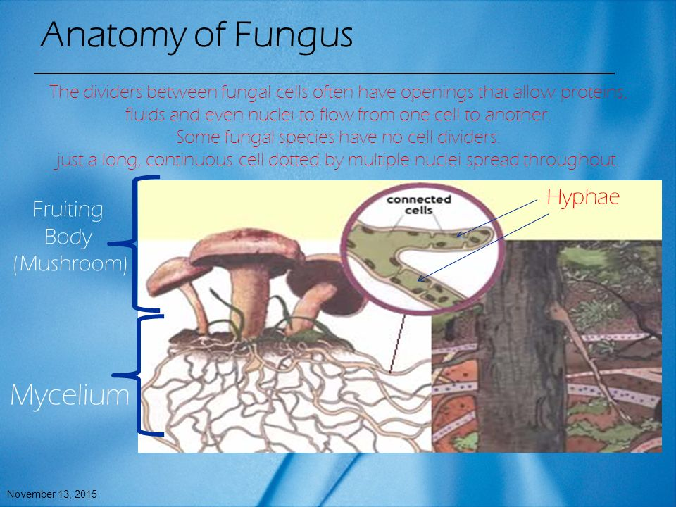 Fungi Diagram Hyphae More Information Kopihijau